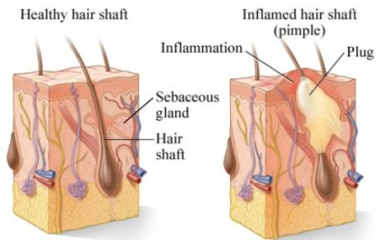 Sebum and sebaceous gland